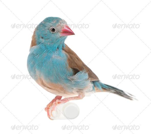Blue-breasted Cordon-bleu - Uraeginthus angolensis - Stock Photo - Images