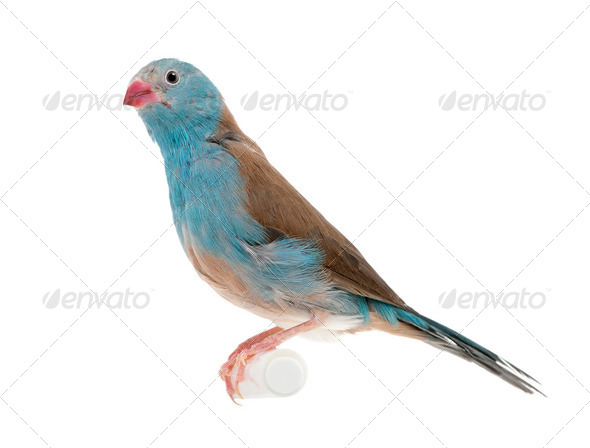 Blue-breasted Cordon-bleu - Uraeginthus angolensis - Stock Photo - Images