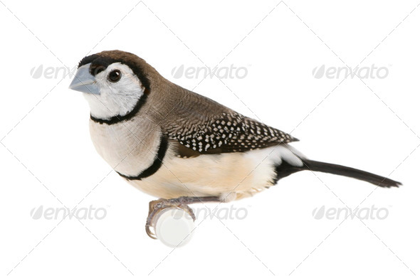 Double-barred Finch - Taeniopygia bichenovii - Stock Photo - Images