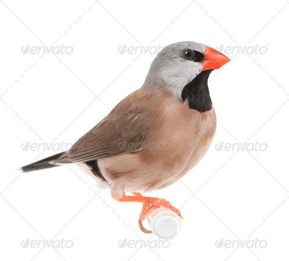 Black-throated Finch - Poephila cincta - Stock Photo - Images