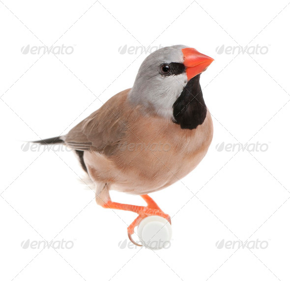Black-throated Finch - Poephila cincta - Stock Photo - Images