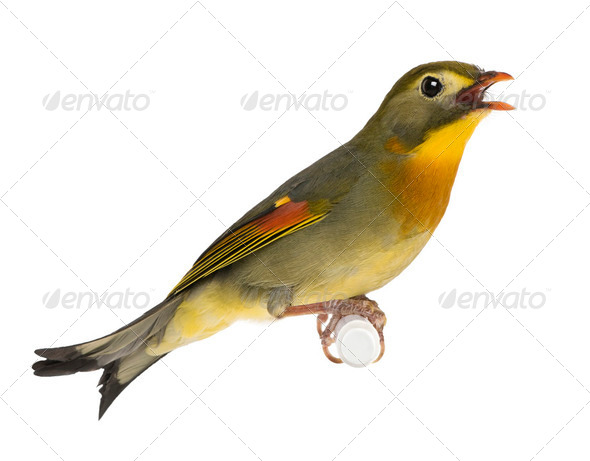 Red-billed Leiothrix - Leiothrix lutea - Stock Photo - Images