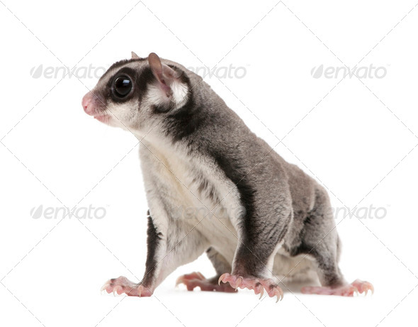 sugar glider - Petaurus breviceps (3years old) - Stock Photo - Images