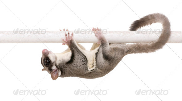sugar glider - Petaurus breviceps - Stock Photo - Images