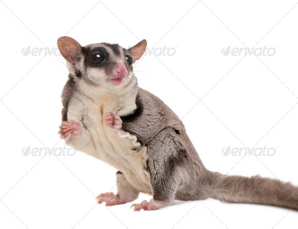 sugar glider - Petaurus breviceps (3 years old) - Stock Photo - Images