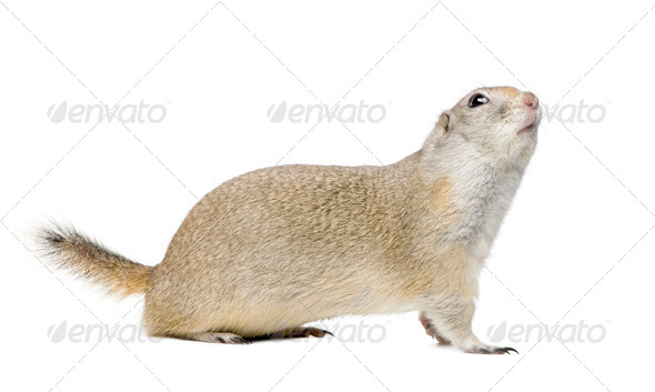 Wyoming Ground Squirrel - Spermophilus elegans (3 years old) - Stock Photo - Images