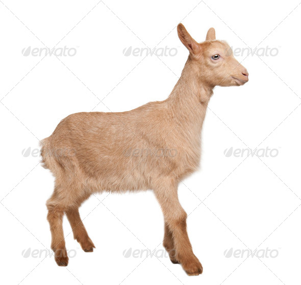 Young brown Goat (2 months old) - Stock Photo - Images