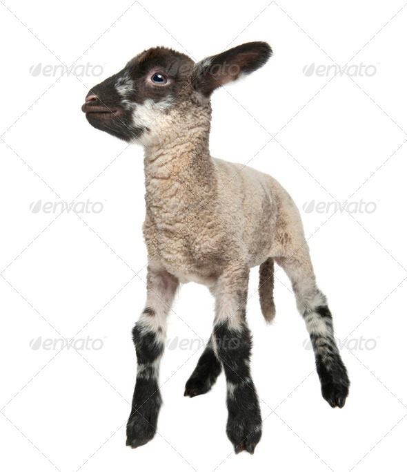 Black and white Lamb (15 days old) - Stock Photo - Images