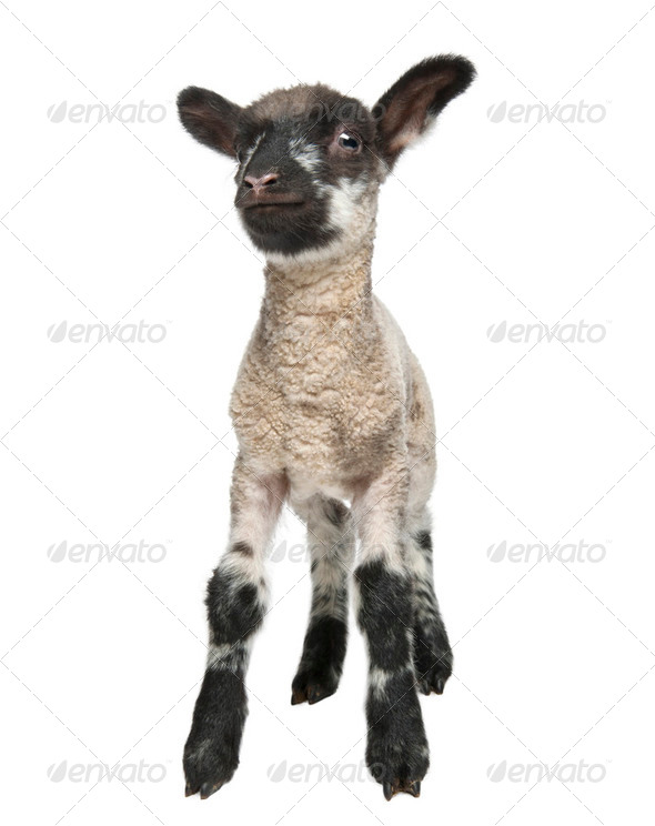 Black and white Lamb facing the camera (15 days old) in front of a white background - Stock Photo - Images