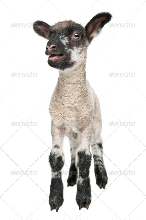 Black and white Lamb facing the camera (15 days old) - Stock Photo - Images