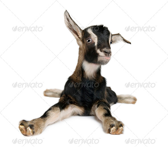 Young Goat (3weeks old) - Stock Photo - Images
