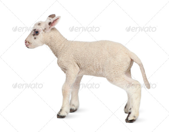 Side view of a Black and white Lamb (10 days old) - Stock Photo - Images