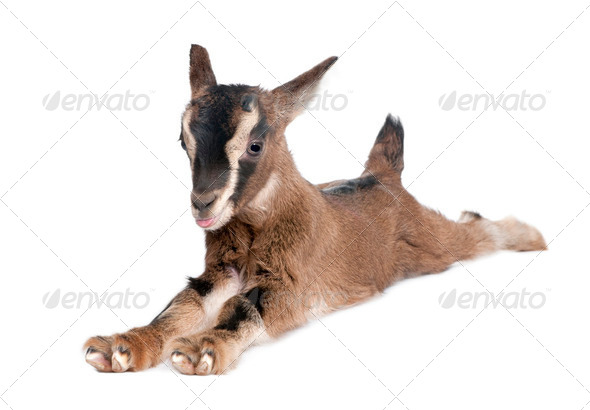 brown Young Goat lying down (3 weeks old) - Stock Photo - Images