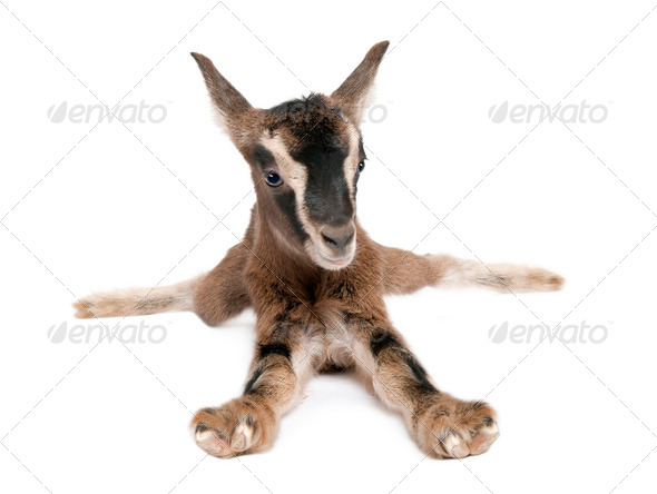 brown Young Goat lying down(3 weeks old) - Stock Photo - Images