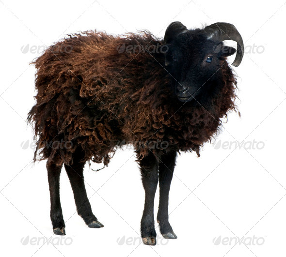 Black shhep - Ouessant ram (4 years old) - Stock Photo - Images