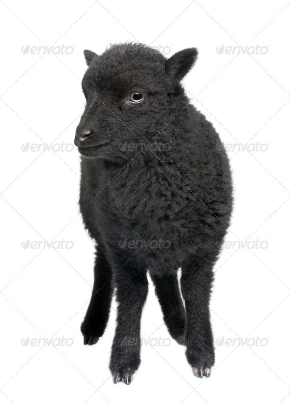 Young black shhep - Ouessant ram (1 month old) - Stock Photo - Images