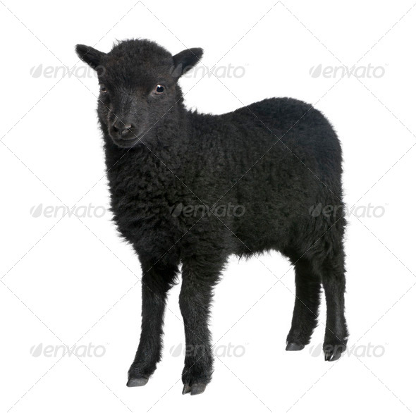 Young Ouessant ram (1 month old) - Stock Photo - Images
