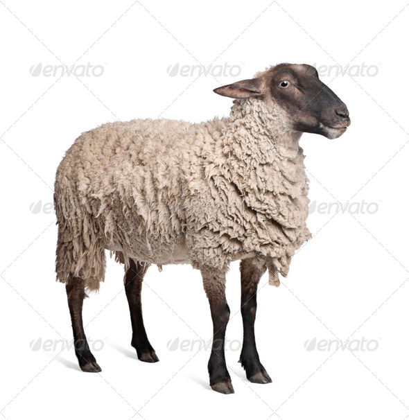 Suffolk sheep - (6 years old) - Stock Photo - Images
