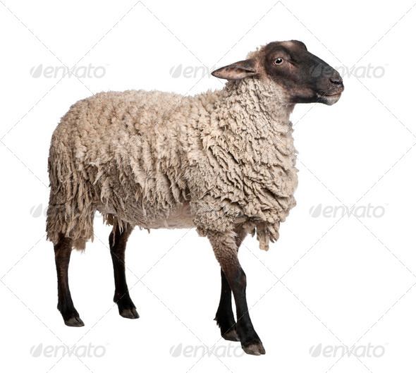 side view of a Suffolk sheep - (6 years old) - Stock Photo - Images