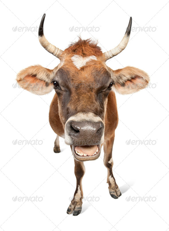 Jersey cow (10 years old) - Stock Photo - Images
