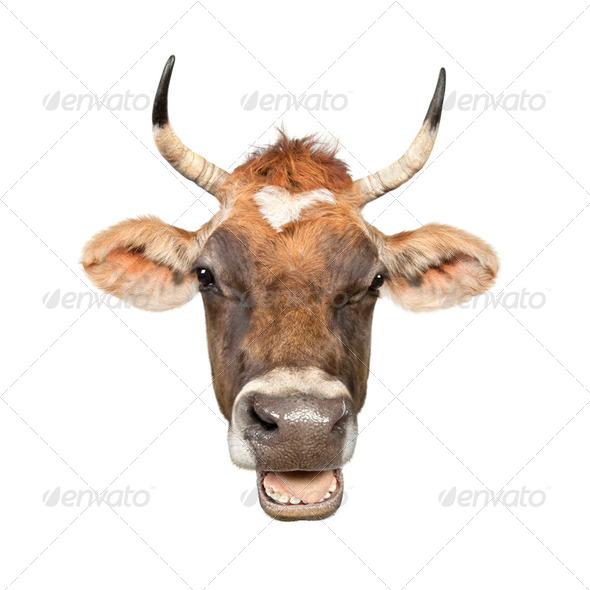 Close-up on a head of a brown Jersey cow - Stock Photo - Images