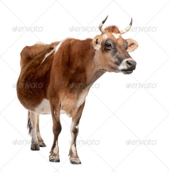 brown Jersey cow (10 years old) - Stock Photo - Images