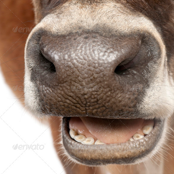 close-up on a snout of a Jersey cow (10 years old) - Stock Photo - Images