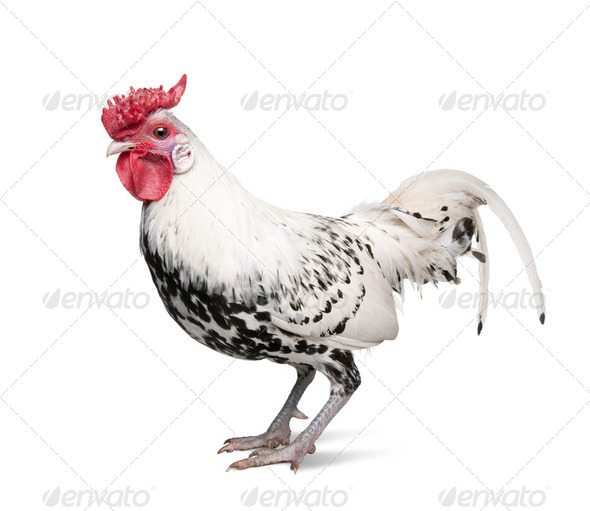 a Silver Spangled Hamburg rooster  (1 year old) - Stock Photo - Images
