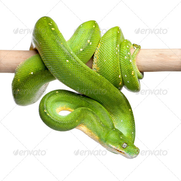 green tree python looking down - Morelia viridis (5 years old) - Stock Photo - Images