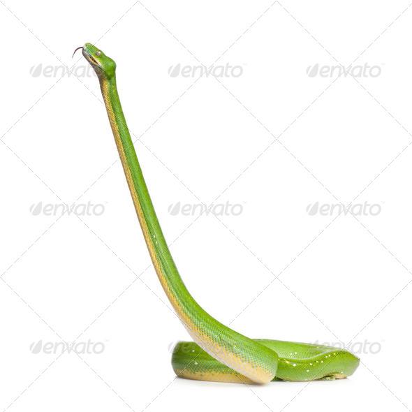 green tree python - Morelia viridis (5 years old) - Stock Photo - Images