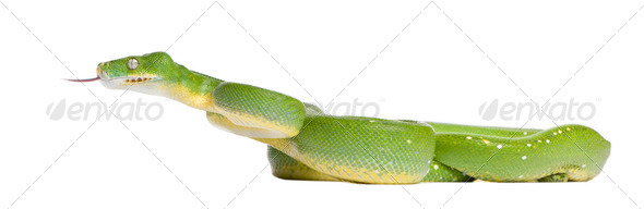 green tree python - Morelia viridis (5 years old) - Stock Photo - Images