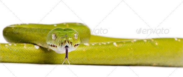 python vert 5 ans morelia viridis - Stock Photo - Images