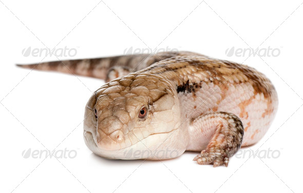 Blue-tongued skink - Tiliqua Scincoides (7 yeras old - female) - Stock Photo - Images