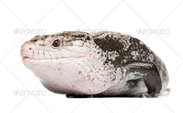 Blue-tongued skink - Tiliqua Scincoides (male) - Stock Photo - Images