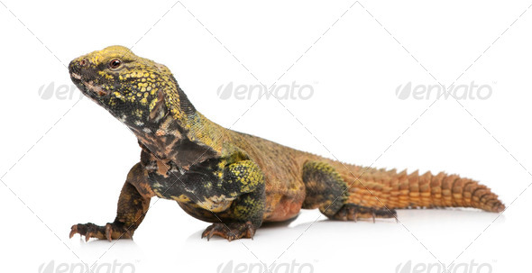 uromastyx acanthinura nigriventris (4 years old) - Stock Photo - Images