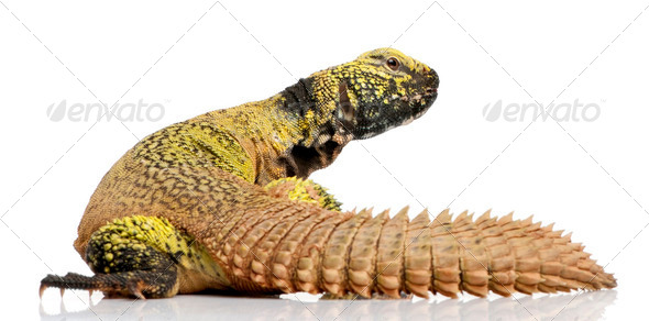Uromastyx acanthinura (4 years old) - Stock Photo - Images