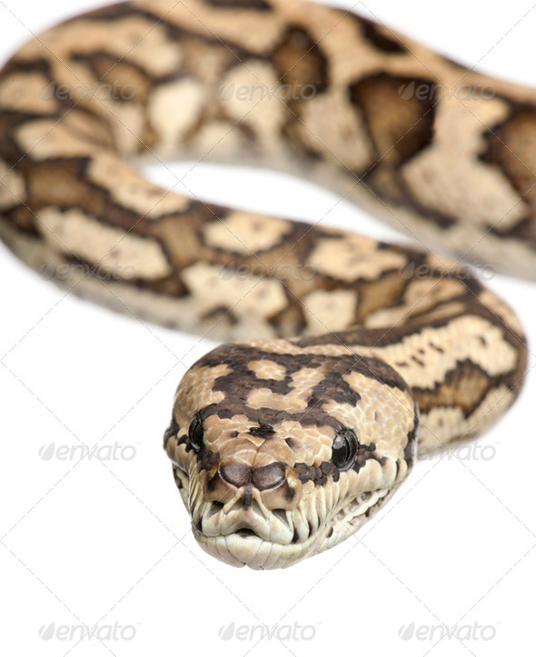 carpet python - Morelia spilota variegata - Stock Photo - Images