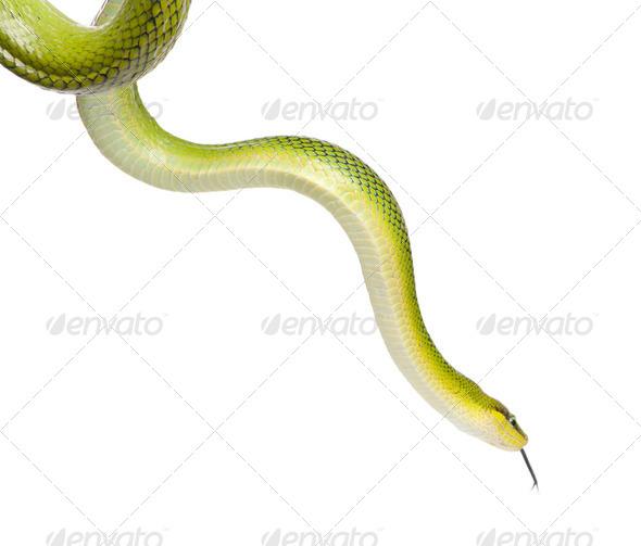 Red-tailed Green Ratsnake - Gonyosoma oxycephalum - Stock Photo - Images