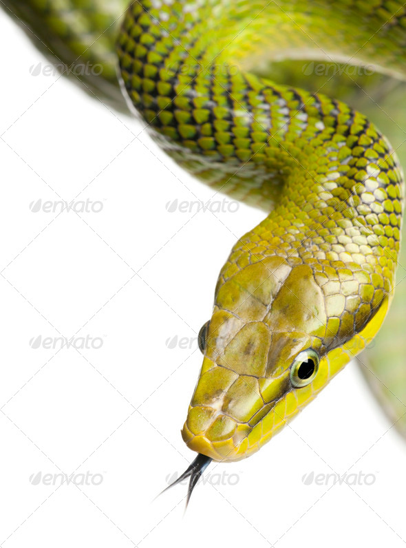 Red-tailed Green Ratsnake - Gonyosoma oxycephalum - Stock Photo - Images