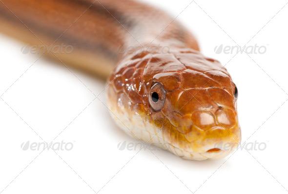 rat snake - elaphe obsoleta (4 years old) - Stock Photo - Images