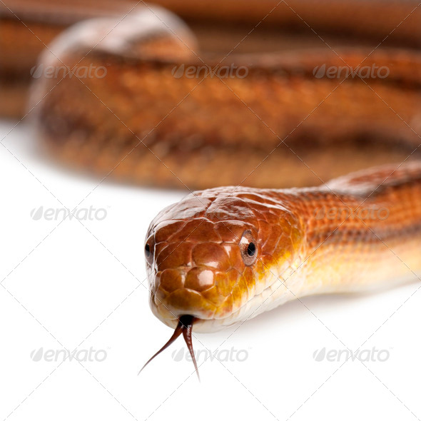 rat snake - elaphe obsoleta (4 years old) - Stock Photo - Images