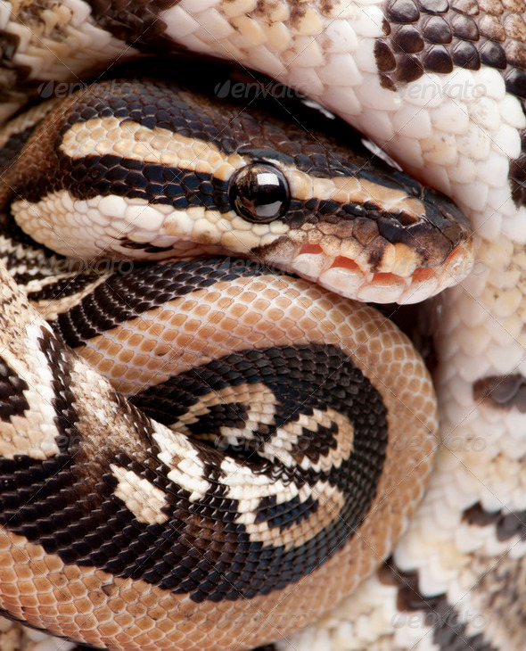 Close up on a Young Python regius (10 months old) - Stock Photo - Images
