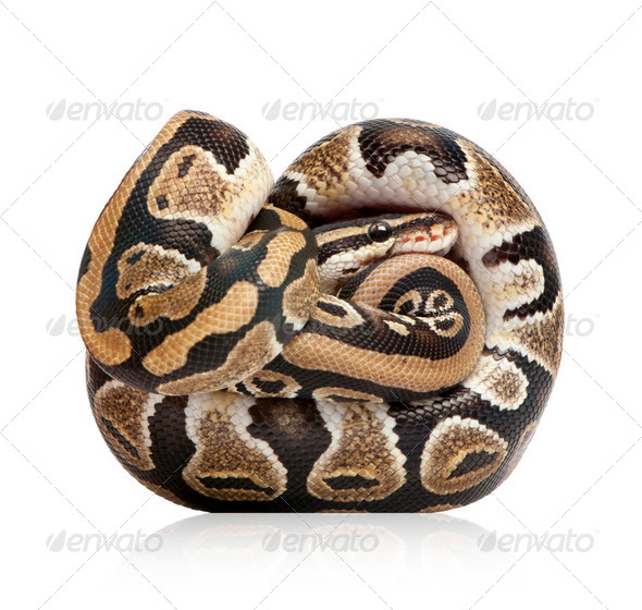 Young Python regius  (10 months old) - Stock Photo - Images