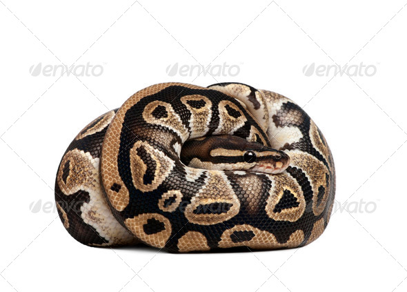 python rejus 10 mois - Stock Photo - Images