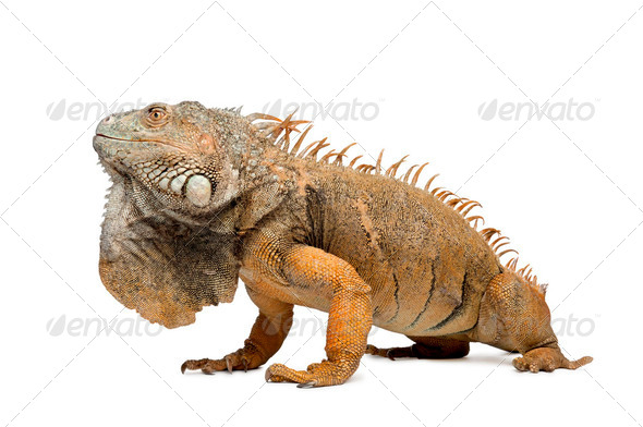 iguane vert 6 ans - Stock Photo - Images
