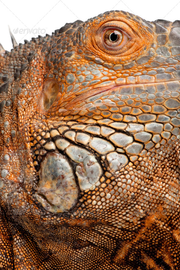 close-up on a Green Iguana - Iguana iguana (6 years old) - Stock Photo - Images