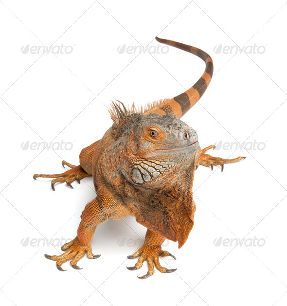 Green Iguana - Iguana iguana (6 years old) - Stock Photo - Images