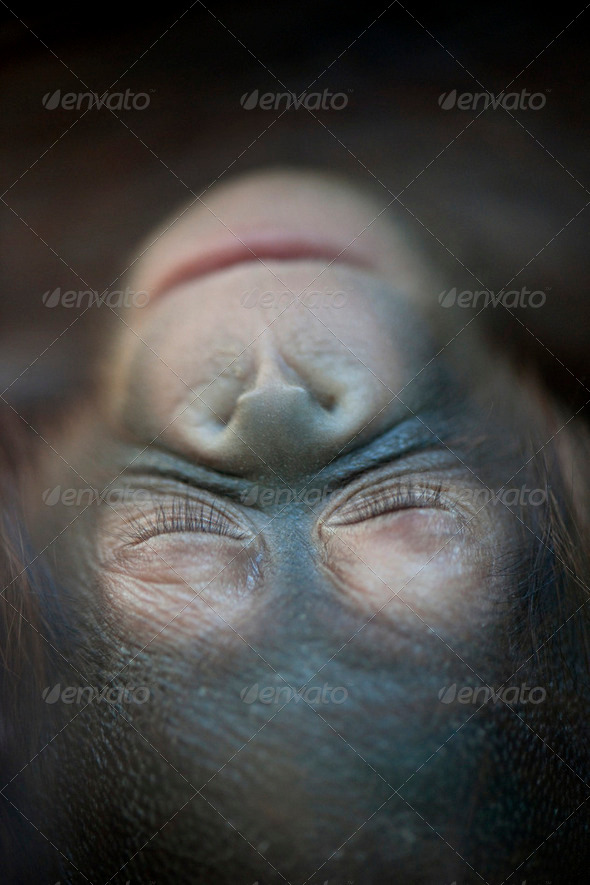 Orangutan newborn baby sleeping (1 months) - Pongo pygmaeus - Stock Photo - Images