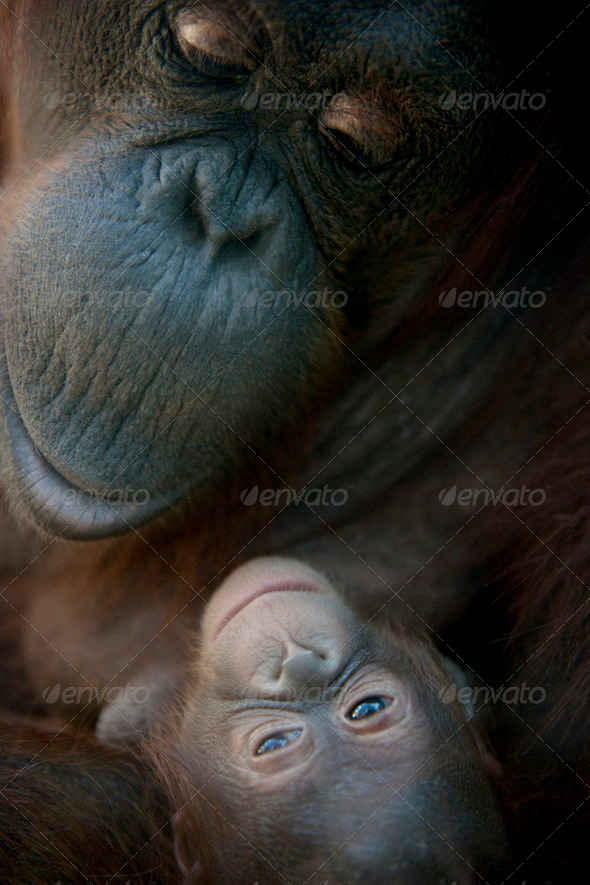 mother Orangutan and her newborn baby 1 months - Pongo pygmaeus - Stock Photo - Images