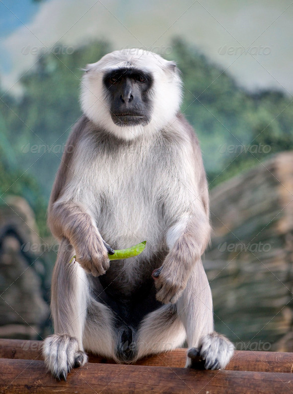 langure hannunan - Semnopithecus entellus (10 years old) - Stock Photo - Images